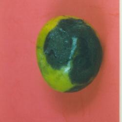 Mango Disease Photos