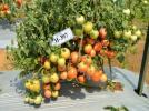Multiple disease resistant Tomato hybrid, Arka Abhed (H-397)